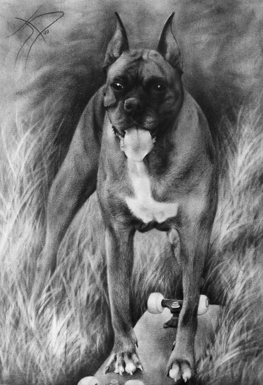 Sylvain divo sculpteur dessins - Dessin chien boxer ...